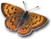Art Shapiro's Butterfly Site | Monitoring butterfly populations across central California for more than 45 years…