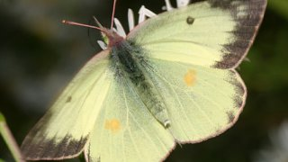 Colias philodice (eriphyle)